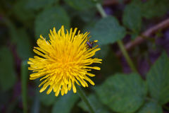 Yellow dandelion close up. Picture of yellow dandelion closeup. On some photos there is a bee royalty free stock photos