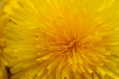 Yellow dandelion close up. Spring flower background Royalty Free Stock Photography