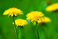 Yellow dandelion close up Stock Image
