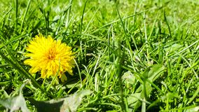 Yellow dandelion. Closeup of a bright yellow blooming Sow Thistle (Sonchus oleraceus) on green grass background stock photography