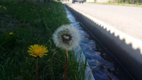 The yellow dandelion and dandelion blowball is next stock video footage