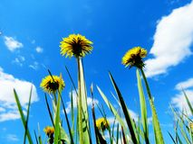 Yellow dandelion. S blossomed on a green glade in a garden Royalty Free Stock Photos