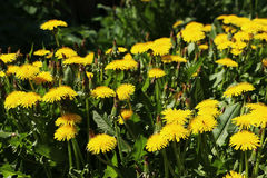 Yellow dandelion. S during flowering on the field Royalty Free Stock Photos