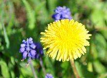 Yellow dandelion. Detail view yellow dandelion in garden Stock Photo