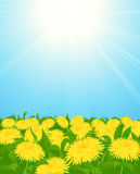 Yellow dandelion field Stock Photography