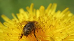 Yellow dandelion in the field. Close-up. A bee on a dandelion collects nectar. Yellow dandelion in the field. Close-up. Stock video footage HD / 1920-1080 / MOV stock video footage