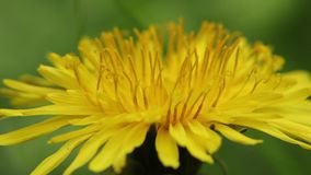 Yellow dandelion in the field. Close-up. Stock video footage HD / 1920-1080 / MOV / Codec H.264 / 25 fps stock video