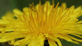 Yellow dandelion in the field. Close-up. Stock video footage HD / 1920-1080 / MOV / Codec H.264 / 25 fps stock footage