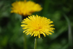 Yellow dandelion in the field Royalty Free Stock Photography