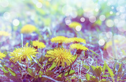Yellow dandelion field flowers, close up Royalty Free Stock Photography