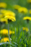 Yellow dandelion field in the summer. Wild flowers royalty free stock photography