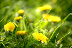 Yellow dandelion flower Stock Photography