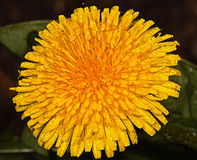 Yellow dandelion flower. In the garden around Moscow Royalty Free Stock Images