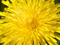 Yellow dandelion flower Stock Image