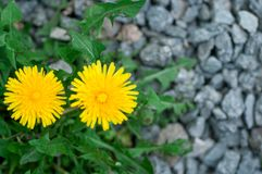 Yellow dandelion flower on a background of green grass royalty free stock photography