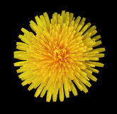 Yellow Dandelion flower on the black isolated background with clipping path. Closeup. no shadows. For design. Nature stock photos