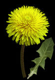 Yellow Dandelion flower on the black isolated background with clipping path. Closeup. no shadows. For design. Side view. Nature royalty free stock images