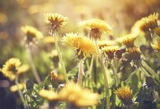 Yellow dandelion flower blooms in the meadow stock photos