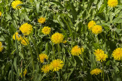 Yellow dandelion flower blossoms in grass. Yellow dandelion flower blossoms in green grass Royalty Free Stock Image