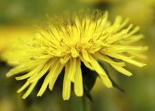 Yellow Dandelion flower on a blurred yellow-green bokeh  background. Closeup.    For design. Side view.  Spring background Royalty Free Stock Image