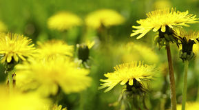 Yellow Dandelion flower on a blurred yellow-green bokeh  background. Closeup.    For design. Side view.  Spring background. Royalty Free Stock Photography