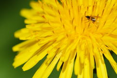 Yellow dandelion flower and bug Royalty Free Stock Photography
