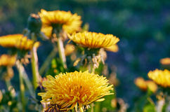 Yellow dandelion. Flower close up, macro, spring background Royalty Free Stock Photo