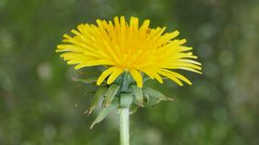 Yellow dandelion flower close-up. Petals of a yellow dandelion flower close-up, have healing properties stock footage