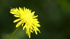 Yellow dandelion flower close up stock video footage