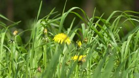 Yellow dandelion flower close up. In 4k stock video footage