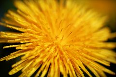Yellow dandelion flower with dew drops, spring sum Royalty Free Stock Image