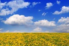 Yellow dandelion flower field . Royalty Free Stock Photos