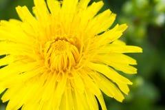 Yellow dandelion flower Stock Photos