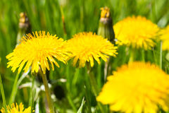 Yellow dandelion flower on green grass summer or spring meadow. On a beautiful day full of sun light Royalty Free Stock Image