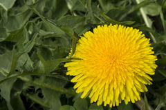 yellow dandelion flower with green leaves Stock Photography