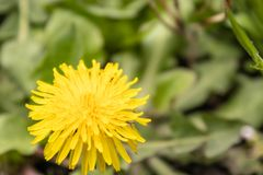 Yellow dandelion flower with green leaves stock photo