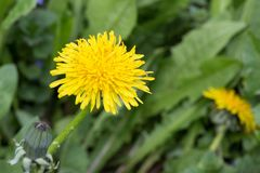 Yellow dandelion flower with green leaves and stalk on grass Stock Image