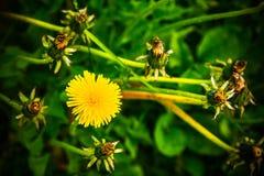 Yellow dandelion flower in a green meadow stock photo