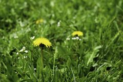Yellow dandelion flower growing among green grass in spring royalty free stock photography