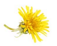 Free Yellow Dandelion Flower Isolated On White. Taraxacum Officinale. Royalty Free Stock Photo - 40062235