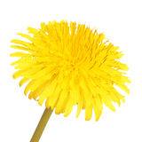 Yellow Dandelion Flower Isolated. Taraxacum officinale stock photo