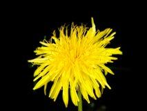 Yellow dandelion flower. Isolated towards black backgorund stock photography