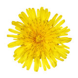 Yellow Dandelion Flower Isolated on White. Taraxacum officinale. Top view royalty free stock photography
