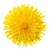 Yellow Dandelion Flower Isolated on White. Taraxacum officinale. Top view royalty free stock image