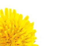 Yellow dandelion flower left corner isolated on white backgroud. Close-up stock photo