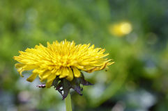 Yellow dandelion flower on meadow Royalty Free Stock Photos