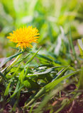 Yellow dandelion flower on the meadow Stock Photography