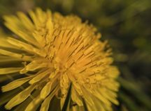 Yellow dandelion flower in natural setting stock photos
