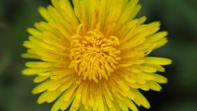 Yellow dandelion flower sways in the wind. A bright flower sways in the wind. Close-up stock footage
