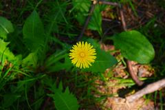 Dandelion flower and sunlight. Yellow dandelion flower close up, macro, spring background Stock Photography